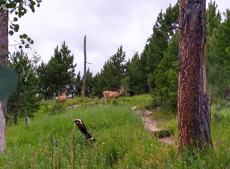 Elk by Black Elk Peak